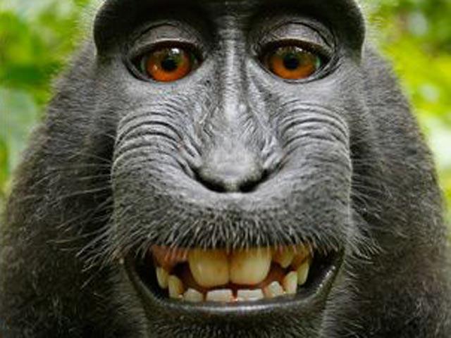 Черная макака в джунглях Индонезии украла у англичанина камеру
