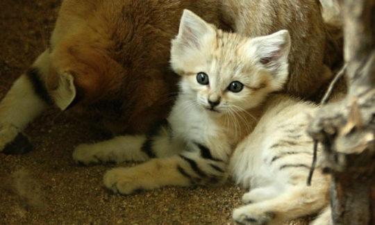 Детенышей самого скрытного вида кошек впервые удалось снять на видео