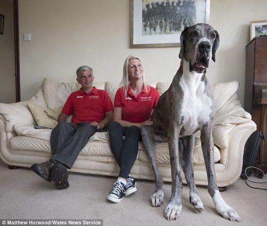 Самая большая собака в мире спит на человеческой кровати