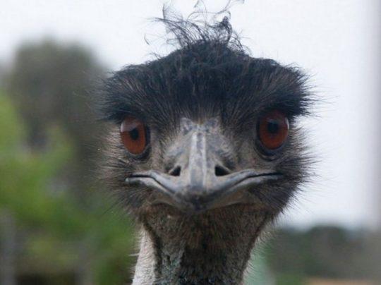 Нахальный страус-эму рассмешил пользователей интернета кражей продуктов